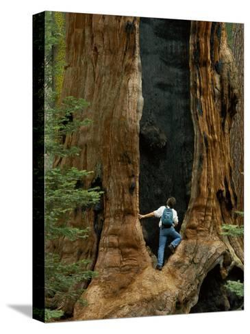 A Man Examines a Giant Fire Scar Left in a Sequoia Tree-Phil Schermeister-Stretched Canvas Print