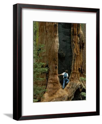 A Man Examines a Giant Fire Scar Left in a Sequoia Tree-Phil Schermeister-Framed Art Print