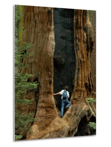 A Man Examines a Giant Fire Scar Left in a Sequoia Tree-Phil Schermeister-Metal Print