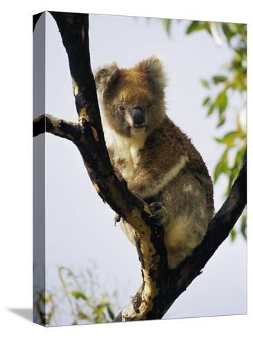 A Koala Bear Sits in a Tree-Nicole Duplaix-Stretched Canvas Print