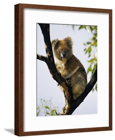 A Koala Bear Sits in a Tree-Nicole Duplaix-Framed Art Print