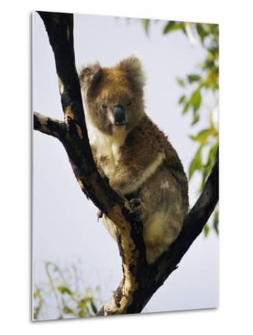 A Koala Bear Sits in a Tree-Nicole Duplaix-Metal Print