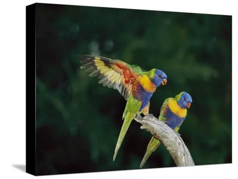 Brightly Colored Lorikeets Perch on a Branch-Nicole Duplaix-Stretched Canvas Print