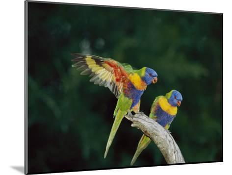 Brightly Colored Lorikeets Perch on a Branch-Nicole Duplaix-Mounted Photographic Print
