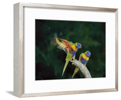Brightly Colored Lorikeets Perch on a Branch-Nicole Duplaix-Framed Art Print