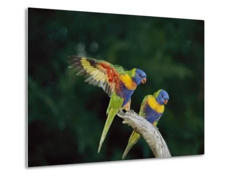Brightly Colored Lorikeets Perch on a Branch-Nicole Duplaix-Metal Print