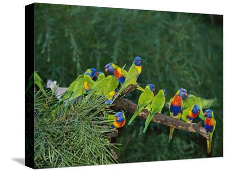 Brightly Colored Lorikeets Perch on a Tree Branch-Nicole Duplaix-Stretched Canvas Print