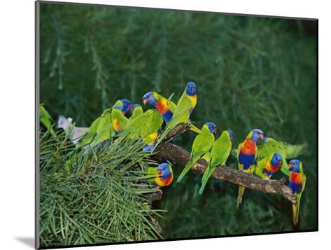 Brightly Colored Lorikeets Perch on a Tree Branch-Nicole Duplaix-Mounted Photographic Print