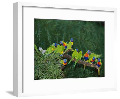 Brightly Colored Lorikeets Perch on a Tree Branch-Nicole Duplaix-Framed Art Print