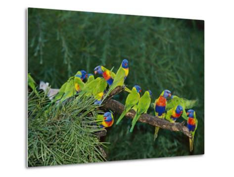 Brightly Colored Lorikeets Perch on a Tree Branch-Nicole Duplaix-Metal Print