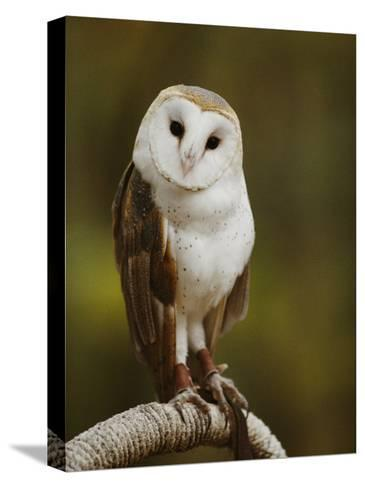 A Snowy-Faced Barn Owl is One of the Wildlife Exhibits at the Nature Station-Raymond Gehman-Stretched Canvas Print