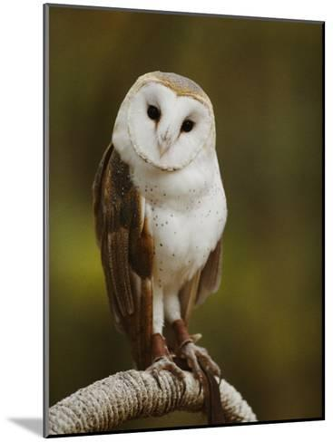 A Snowy-Faced Barn Owl is One of the Wildlife Exhibits at the Nature Station-Raymond Gehman-Mounted Photographic Print