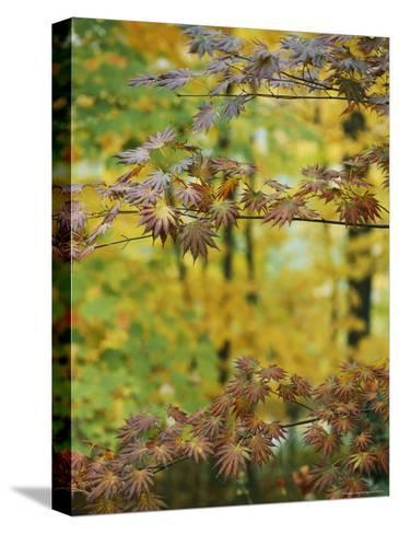Japanese Maple Leaves Change Colors in the Fall-Darlyne A^ Murawski-Stretched Canvas Print