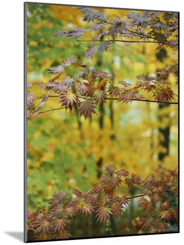 Japanese Maple Leaves Change Colors in the Fall-Darlyne A^ Murawski-Mounted Photographic Print