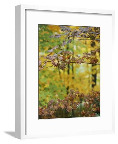 Japanese Maple Leaves Change Colors in the Fall-Darlyne A^ Murawski-Framed Art Print