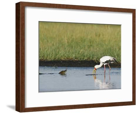 A Yellow-Billed Stork Forages in Shallow Water Near a Small Nile Crocodile-Beverly Joubert-Framed Art Print