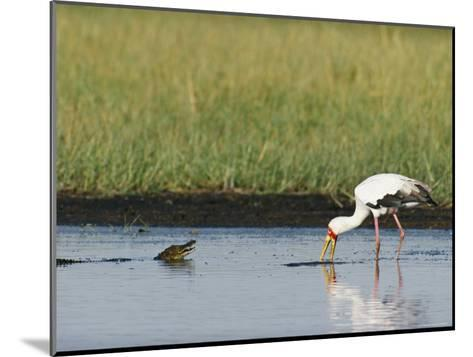 A Yellow-Billed Stork Forages in Shallow Water Near a Small Nile Crocodile-Beverly Joubert-Mounted Photographic Print