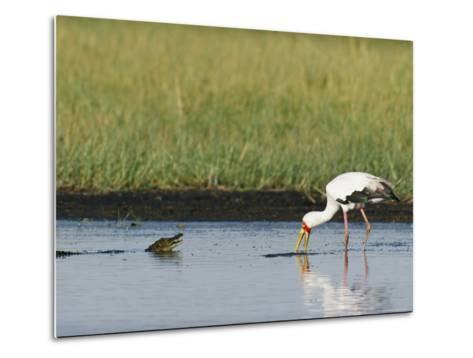A Yellow-Billed Stork Forages in Shallow Water Near a Small Nile Crocodile-Beverly Joubert-Metal Print