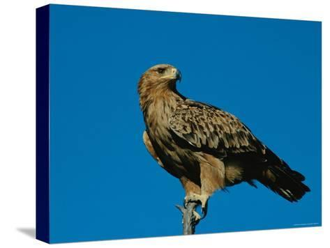 A Tawny Eagle Perches on a Limb-Beverly Joubert-Stretched Canvas Print