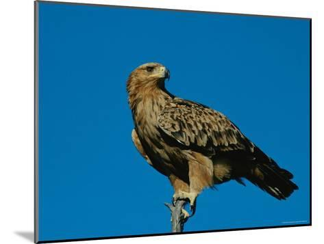 A Tawny Eagle Perches on a Limb-Beverly Joubert-Mounted Photographic Print