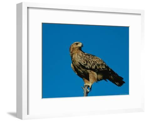 A Tawny Eagle Perches on a Limb-Beverly Joubert-Framed Art Print