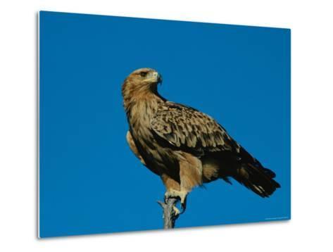 A Tawny Eagle Perches on a Limb-Beverly Joubert-Metal Print