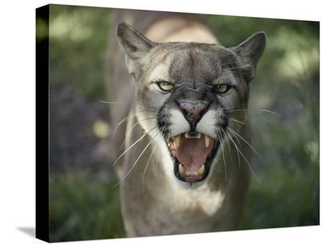 A Mountain Lion Hisses at the Camera-Jason Edwards-Stretched Canvas Print