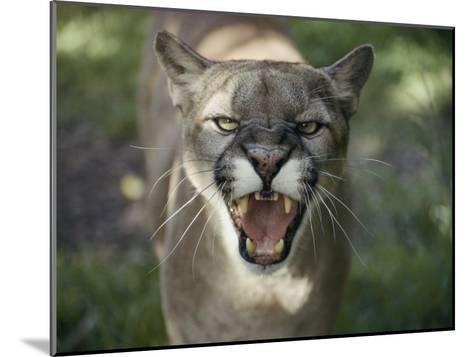 A Mountain Lion Hisses at the Camera-Jason Edwards-Mounted Photographic Print
