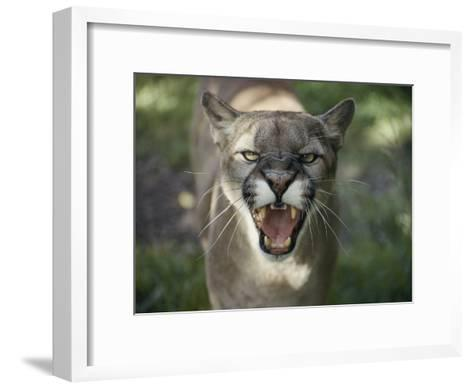 A Mountain Lion Hisses at the Camera-Jason Edwards-Framed Art Print