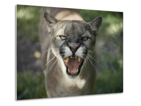 A Mountain Lion Hisses at the Camera-Jason Edwards-Metal Print