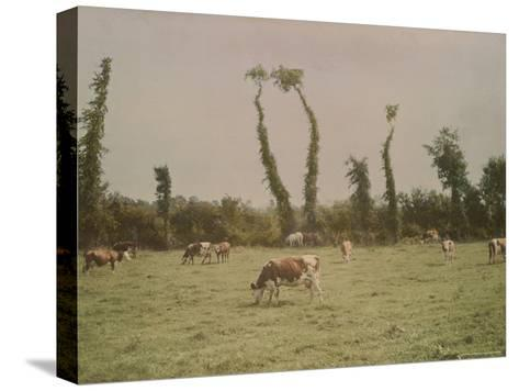 Cows Graze in a Field in Normandy-W^ Robert Moore-Stretched Canvas Print