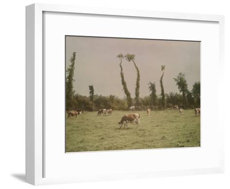 Cows Graze in a Field in Normandy-W^ Robert Moore-Framed Art Print