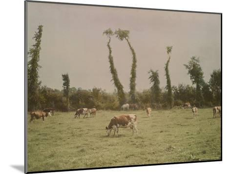 Cows Graze in a Field in Normandy-W^ Robert Moore-Mounted Photographic Print