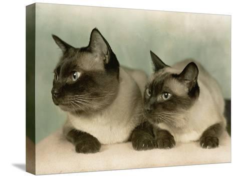 Siamese Cats-Willard Culver-Stretched Canvas Print