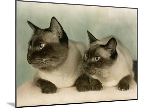 Siamese Cats-Willard Culver-Mounted Photographic Print
