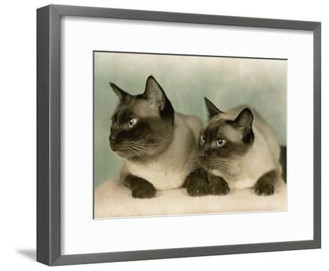 Siamese Cats-Willard Culver-Framed Art Print