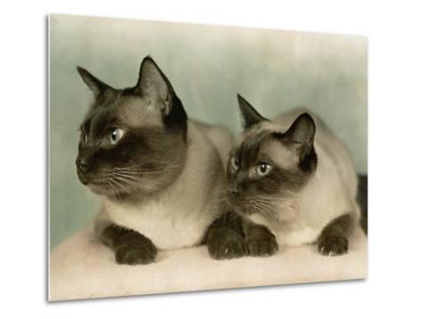 Siamese Cats-Willard Culver-Metal Print