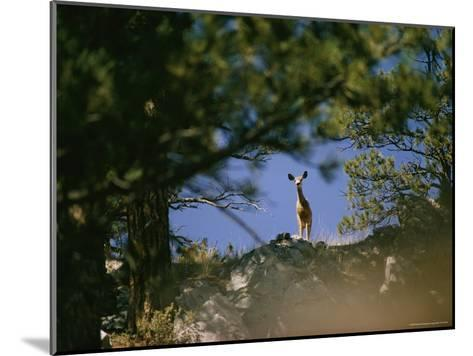 Mule Deer Looking Down at the Camera from a Ridge-Dick Durrance-Mounted Photographic Print