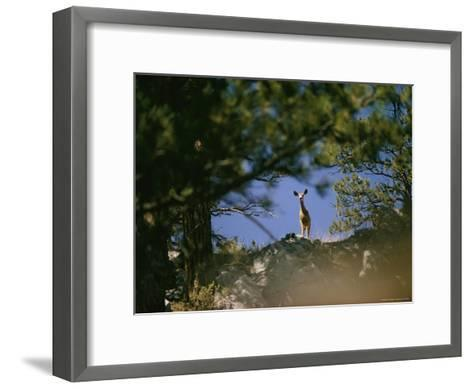 Mule Deer Looking Down at the Camera from a Ridge-Dick Durrance-Framed Art Print