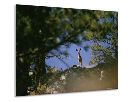 Mule Deer Looking Down at the Camera from a Ridge-Dick Durrance-Metal Print