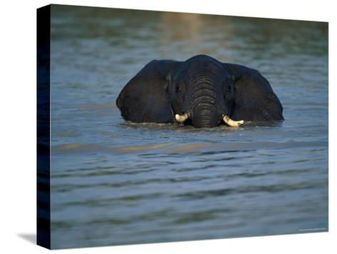 African Elephant Wading in the Water-Beverly Joubert-Stretched Canvas Print