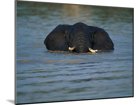 African Elephant Wading in the Water-Beverly Joubert-Mounted Photographic Print