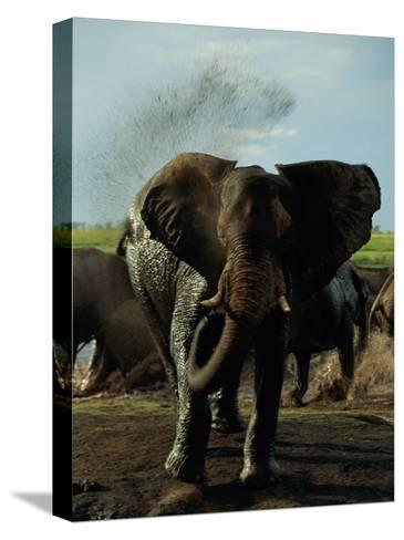 African Elephant Taking a Mud Bath-Beverly Joubert-Stretched Canvas Print