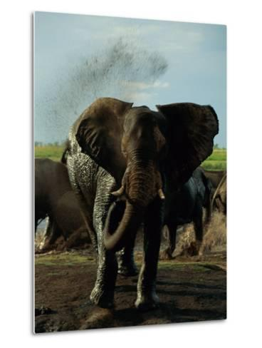 African Elephant Taking a Mud Bath-Beverly Joubert-Metal Print