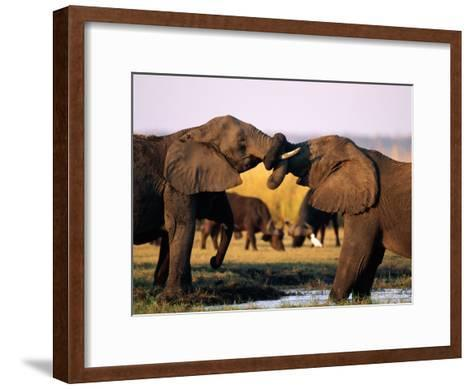 African Elephants with Trunks Entwined-Beverly Joubert-Framed Art Print