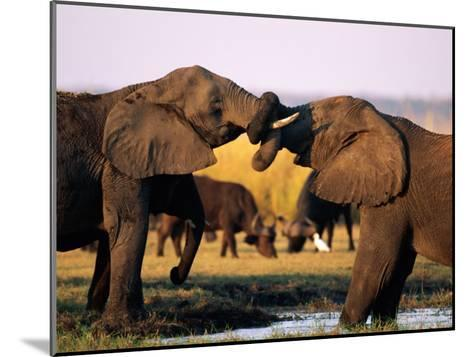 African Elephants with Trunks Entwined-Beverly Joubert-Mounted Photographic Print
