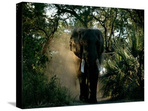 African Elephant in a Forest Setting-Beverly Joubert-Stretched Canvas Print