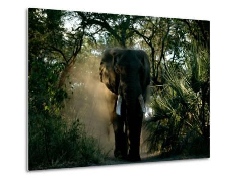 African Elephant in a Forest Setting-Beverly Joubert-Metal Print