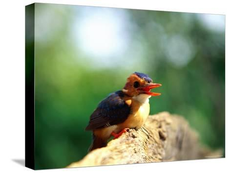 Pygmy Kingfisher-Beverly Joubert-Stretched Canvas Print