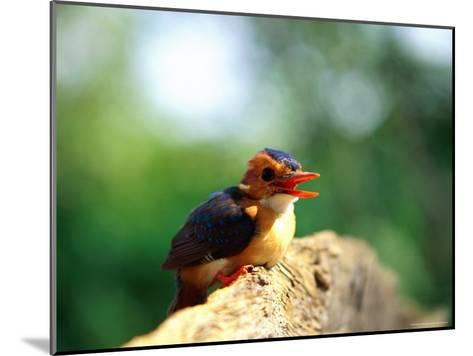 Pygmy Kingfisher-Beverly Joubert-Mounted Photographic Print